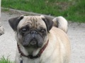 dogpatch-dog-pug-face